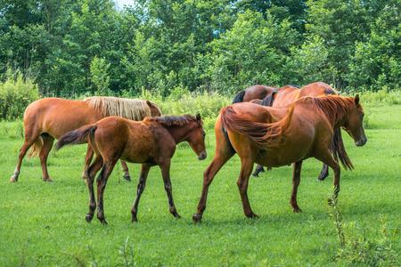 yegua: Brown horses on pasture, nature, Animal world.