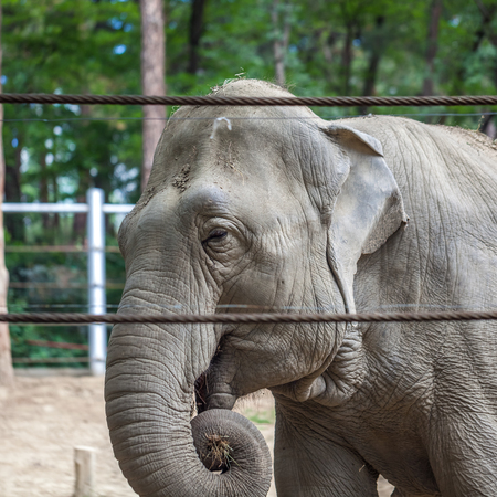 African elephant at the Tbilisi Zoo, Animal.