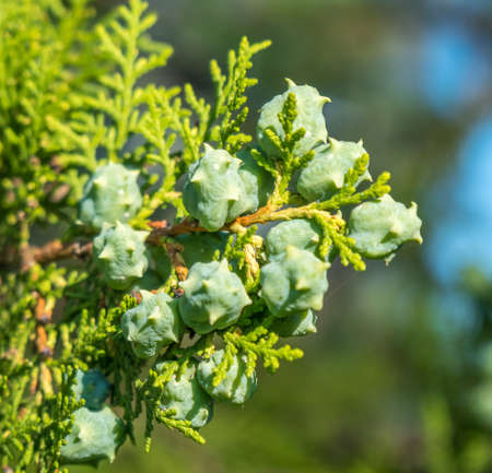 cone shaped leaves with seeds, Coniferous plant.