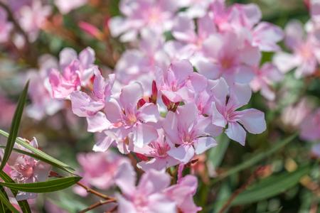 Close up soft pink sweet oleander flower. Sweet Oleander blooming.