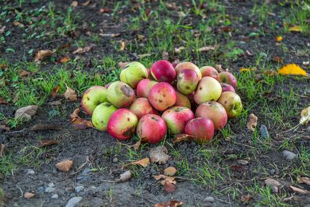 Fallen ?otten apples on the ground in garden.