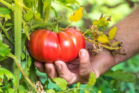 Tomatoes harvest. Farmers hand picking tomatoes.