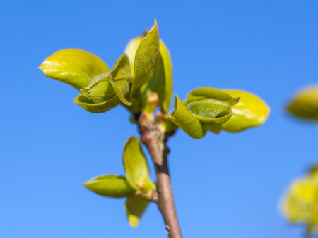 Spring leaves growing from persimmon tree, nature.