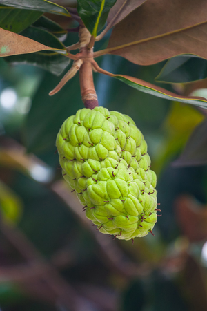 The Magnolia tree exhibits seed pods, flora. 写真素材