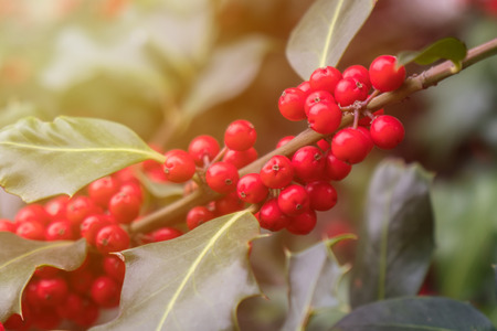 Holly green foliage with matures red berries. Ilex aquifolium or Christmas holly. Foto de archivo