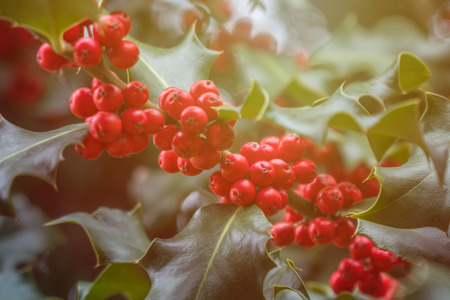 Holly green foliage with matures red berries. Ilex aquifolium or Christmas holly. Stock Photo