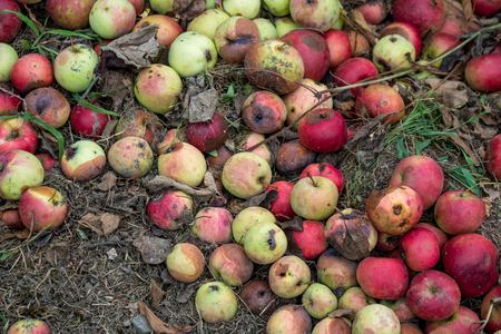 The rotten apples fallen on the ground, fruit