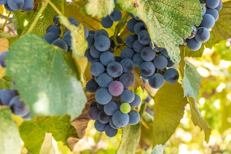 blue grape in the garden, harvest vinery,fruit Banque d'images - 122330953
