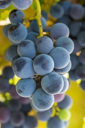 blue grape in the garden, harvest vinery,fruit
