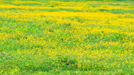 blooming flower in spring, buttercup, crowfoot, flora