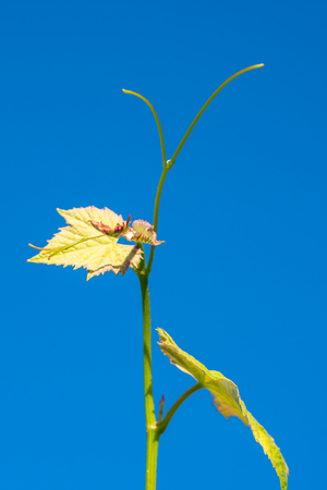 Young sprout of grapes against blue sky. Vineyard buds in spring. Georgia Imagens