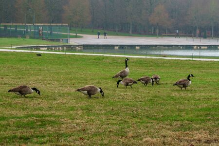 Geese in the park of Versailles eating green grass. Bird.