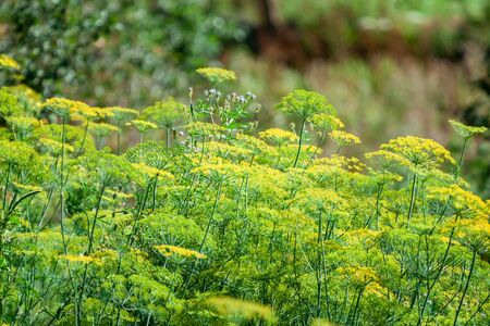 Yellow coriander flowers in the vegetable garden. Greenary.
