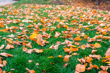 Yellow leaves fallen on fresh green grass in park in Budapest, Hungary. Nature.