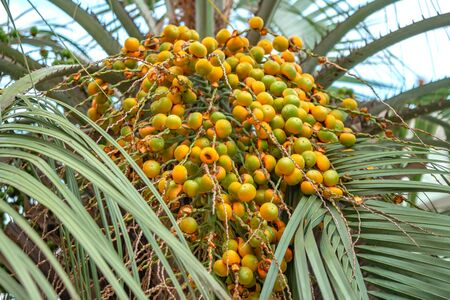 Bunch of yellow and green dates on the palm tree. Nature. Zdjęcie Seryjne
