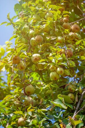 small unripe fruit of a pear tree grows in the garden. Agriculture. Stockfoto