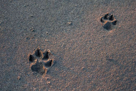 Two footprints of a dog on black sand. Black Sea. Standard-Bild
