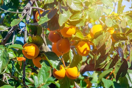 Persimmon tree with many ripe persimmons in autumn. Fruit. Stock Photo