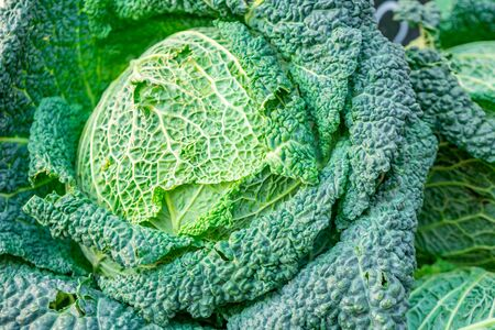 Fresh green savoy cabbages in a market. Vegetable.