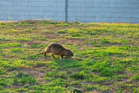 Coypu water rat in green grass. Animal. Wildlife.
