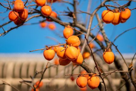 Persimmon tree with Ripe orange fruits in late autumn on blue sky background. Fruit. Banco de Imagens