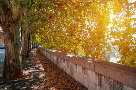 Sycamore Tree alley along the embankment of the Tiber River. Rome, Italy
