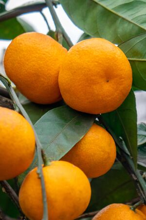Fresh organic, orange tangerine tree. Healthy fruit. Agriculture.