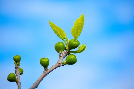 Young figs tree leaves agasnst blue sky, nature