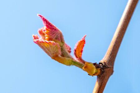 Nuova crescita che germoglia dalla vite Vineyard, Georgia. Primavera