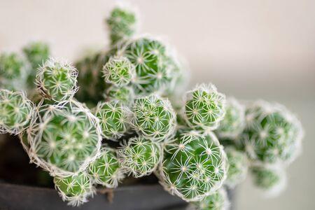 Green thorn cactus with long needle, macro shoot, close-up Foto de archivo