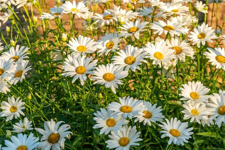 Daisies in a summer meadow. Blooming daisies. High quality photo