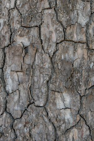 Relief texture or background of bark of Pine tree, nature