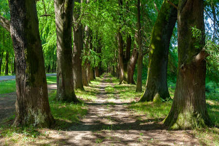 Alley of swamp cypress trees in Poti, Georgia. Nature Фото со стока