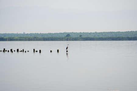 white crane resting on the pillings in the lake Paliastomi, Poti, Georgia. Landscape