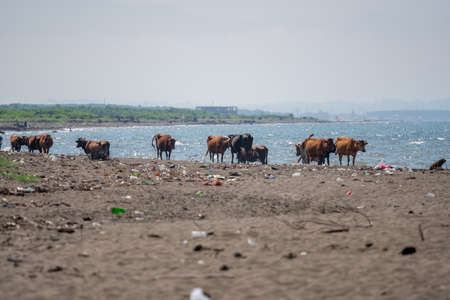 Cows on the Black Sea, polluted sand on the coast, Poti, Georgia