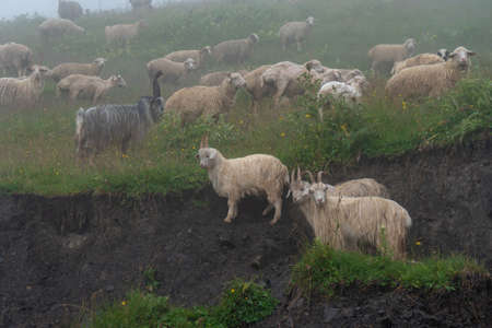sheeps on a mountain pasture on a foggy day. Khevsureti, Georgia Archivio Fotografico