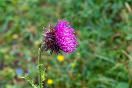 Close-up bright pink flower of melancholy thistle on a green natural background, nature