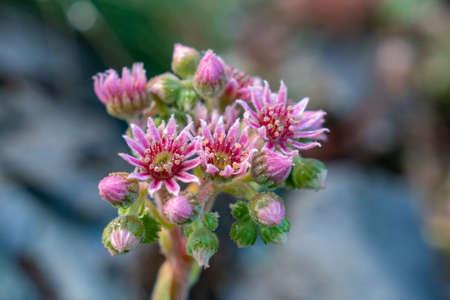 Beautiful mountain pink flower in the morning, nature 版權商用圖片