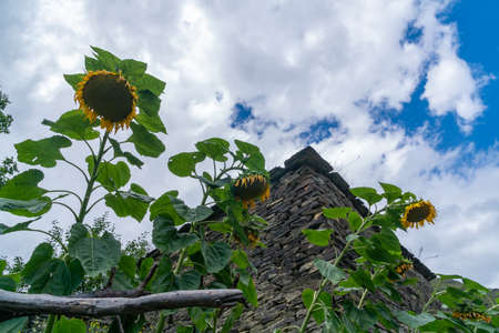 Sunflower on the terrace in the old historic town of Shatili. Georgia Stok Fotoğraf