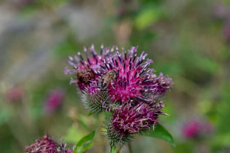 Beautiful purple thistle flower. Pink flower burdock. Nature Stok Fotoğraf