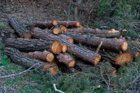 Freshly cut pine wood logs piled up near a forest road Stock fotó