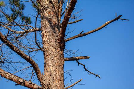 Pine tree trunk against blue sky, flora, nature