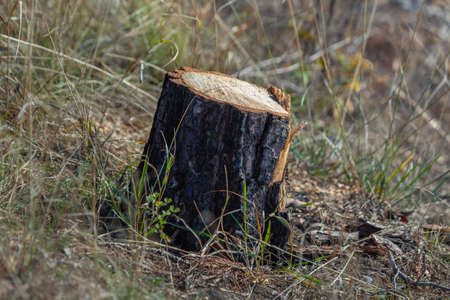 Stump of young pine tree, danger to environment, nature