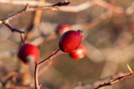 Red rose hips of dog rose. Rosa canina, commonly known as the dog rose. Nature