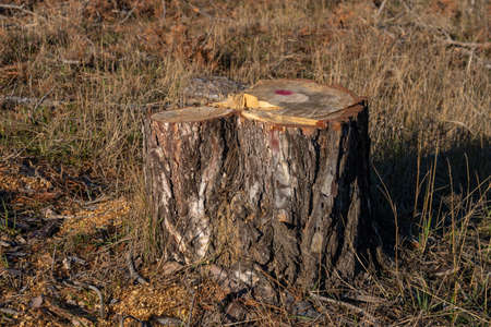 Stump of young pine tree, danger to environment. Nature