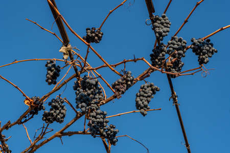 Purple red grapes against blue sky. Winter time