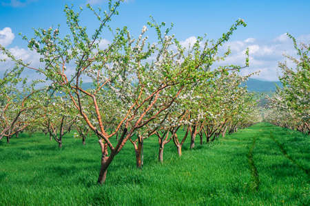 Row of Beautiful blooming of decorative apple and fruit trees. Agriculture