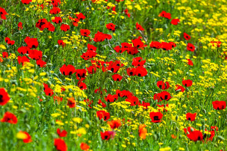 Red poppies field in springtime landscape, nature. Flora