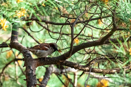 One small sparrow resting on the branched filled with pine needle in the park. Bird Standard-Bild