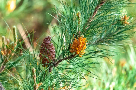 Pine cones on the tree beautiful background nature picture. Nature Standard-Bild